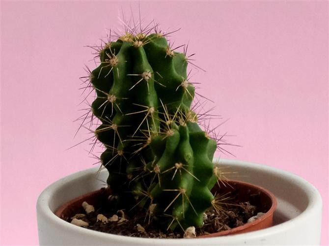 Dvanaesta biljka