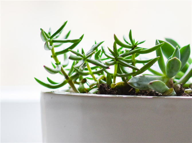 Šesnaesta biljka biljka