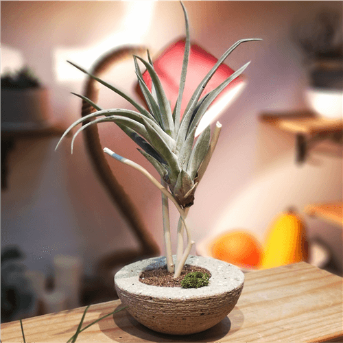 Aranžman Vazdušna biljka ananas