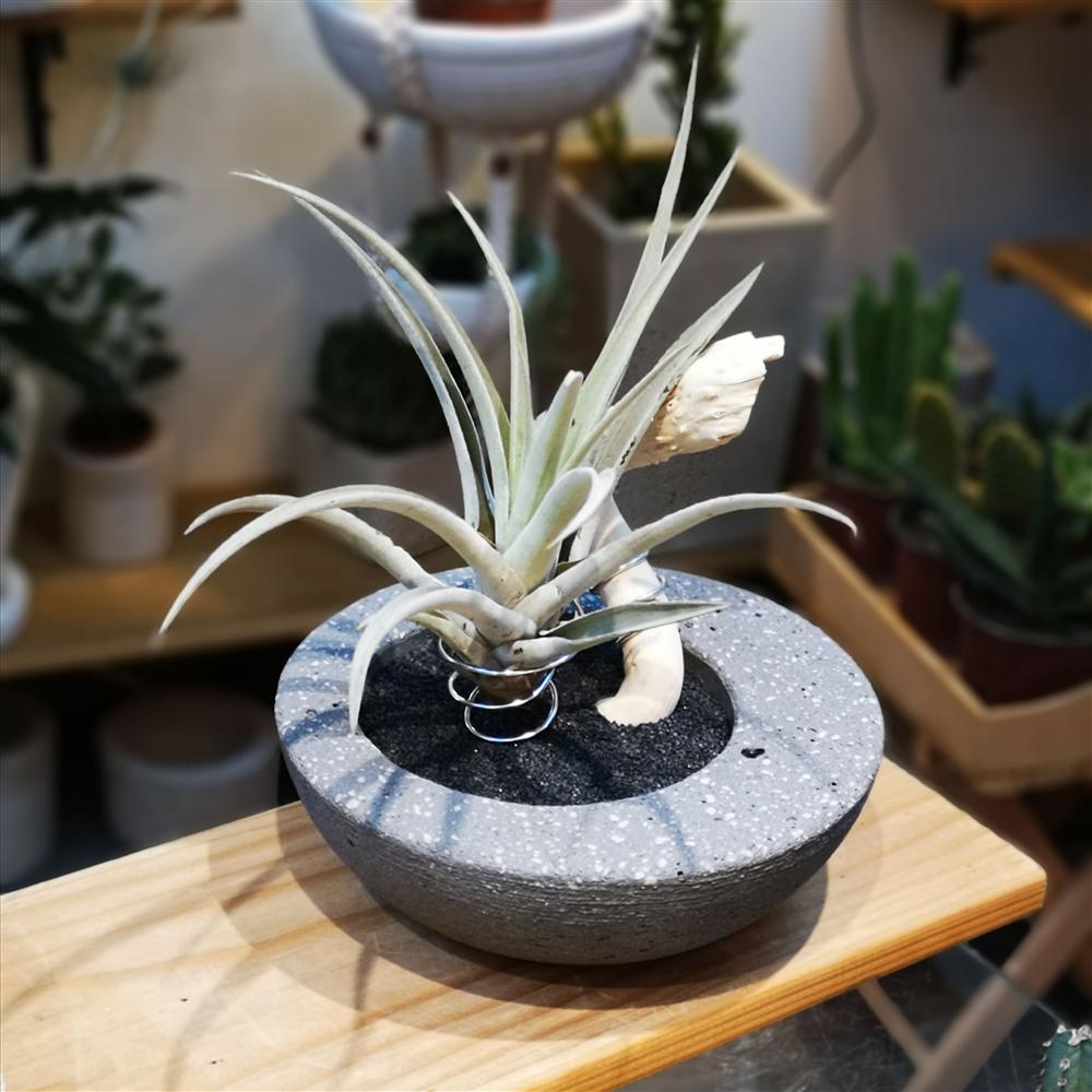 Aranžman Siva decentrirana saksija sa vazdušnom biljkom